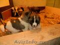 Vand pui Akita American nascuti in 30. 11. 2012